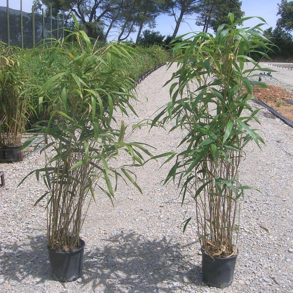mes bambous jaunissent. cool with mes bambous jaunissent. fabulous