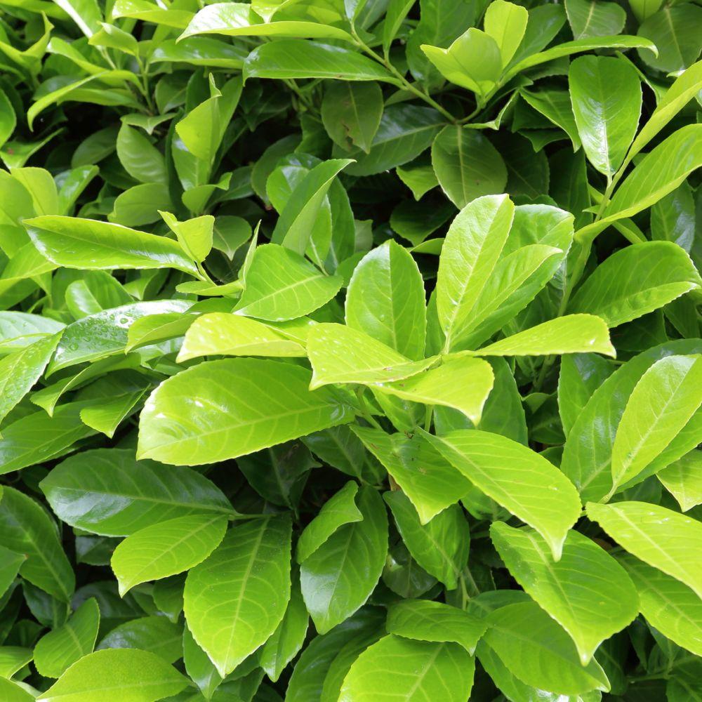 Laurier-cerise 'Rotundifolia'