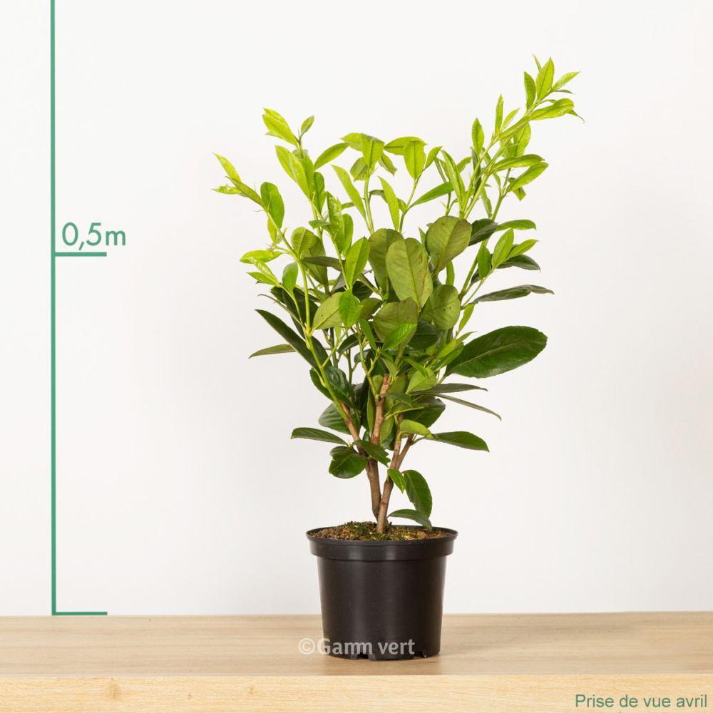laurier cerise 39 rotundifolia 39 pot de 3 litres hauteur 40 60cm gamm vert. Black Bedroom Furniture Sets. Home Design Ideas