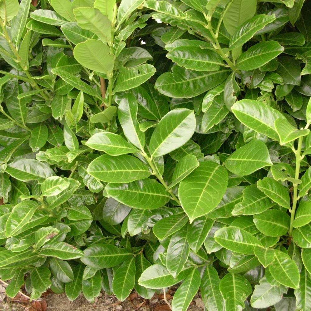 Laurier cerise 39 rotundifolia 39 pot de 3 litres hauteur 40 60cm gamm vert - Haie de laurier palme ...