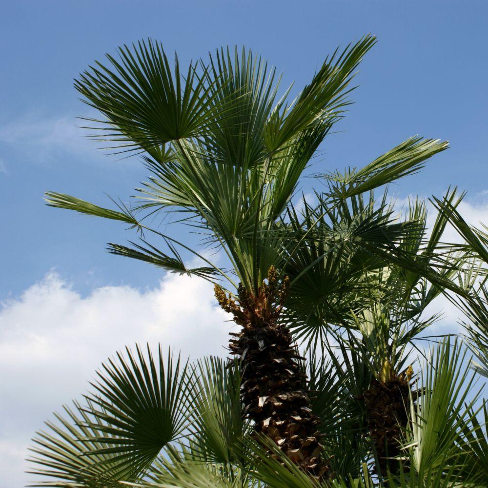 palmier chanvre pot de 5 litres hauteur 60cm gamm vert. Black Bedroom Furniture Sets. Home Design Ideas