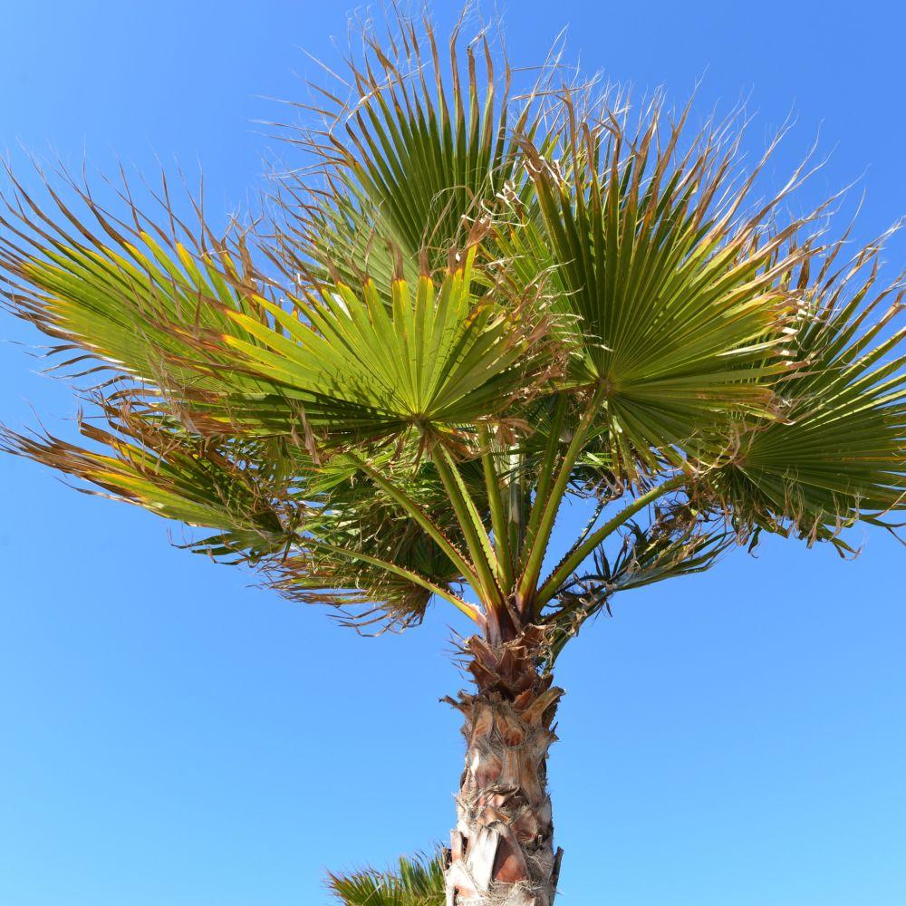 Palmier chanvre pot de 5 litres hauteur 60cm gamm vert - Image palmier ...