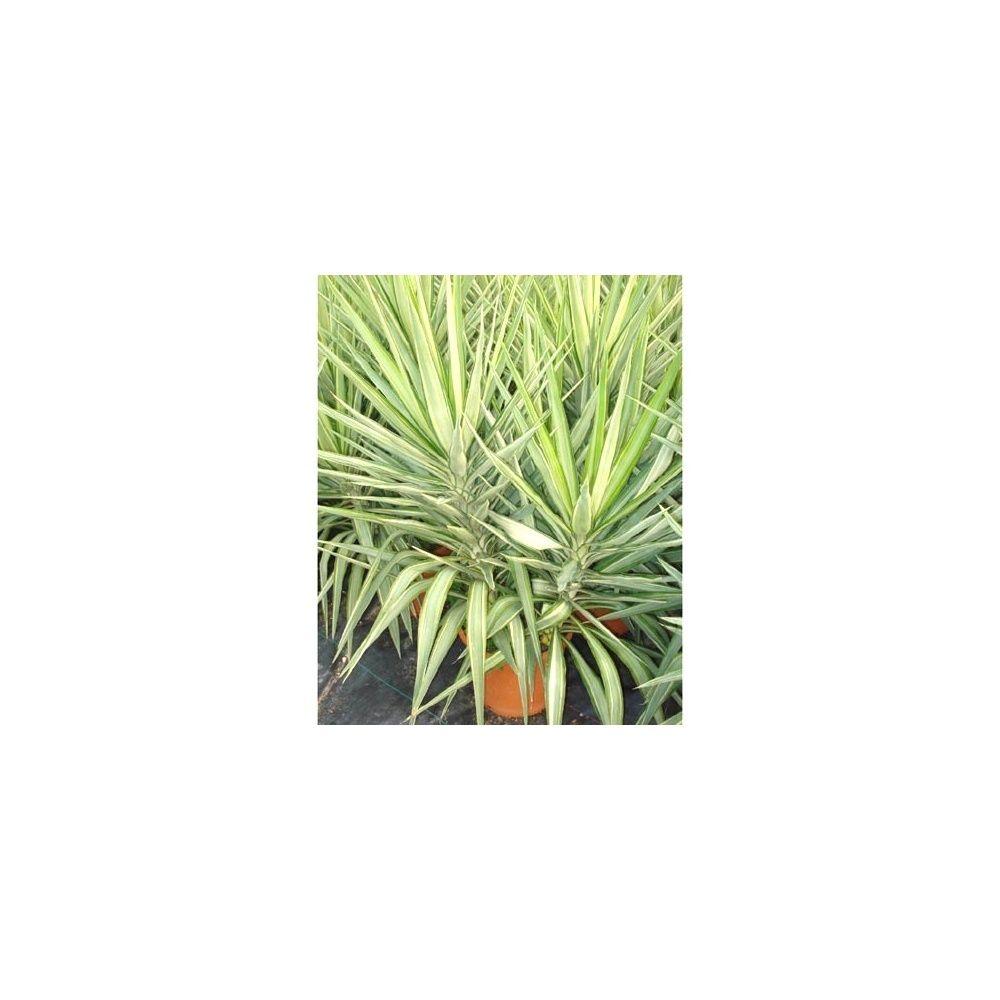 yucca elephantipes 'jewel' pot de 16 litres, hauteur 100/120 cm