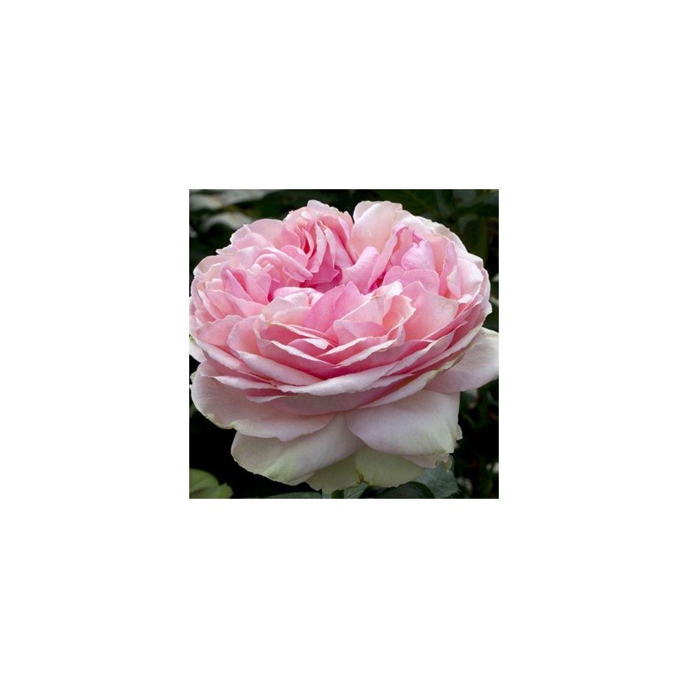 rosier 'feeling®' - rosier meilland racines nues avec motte, 3