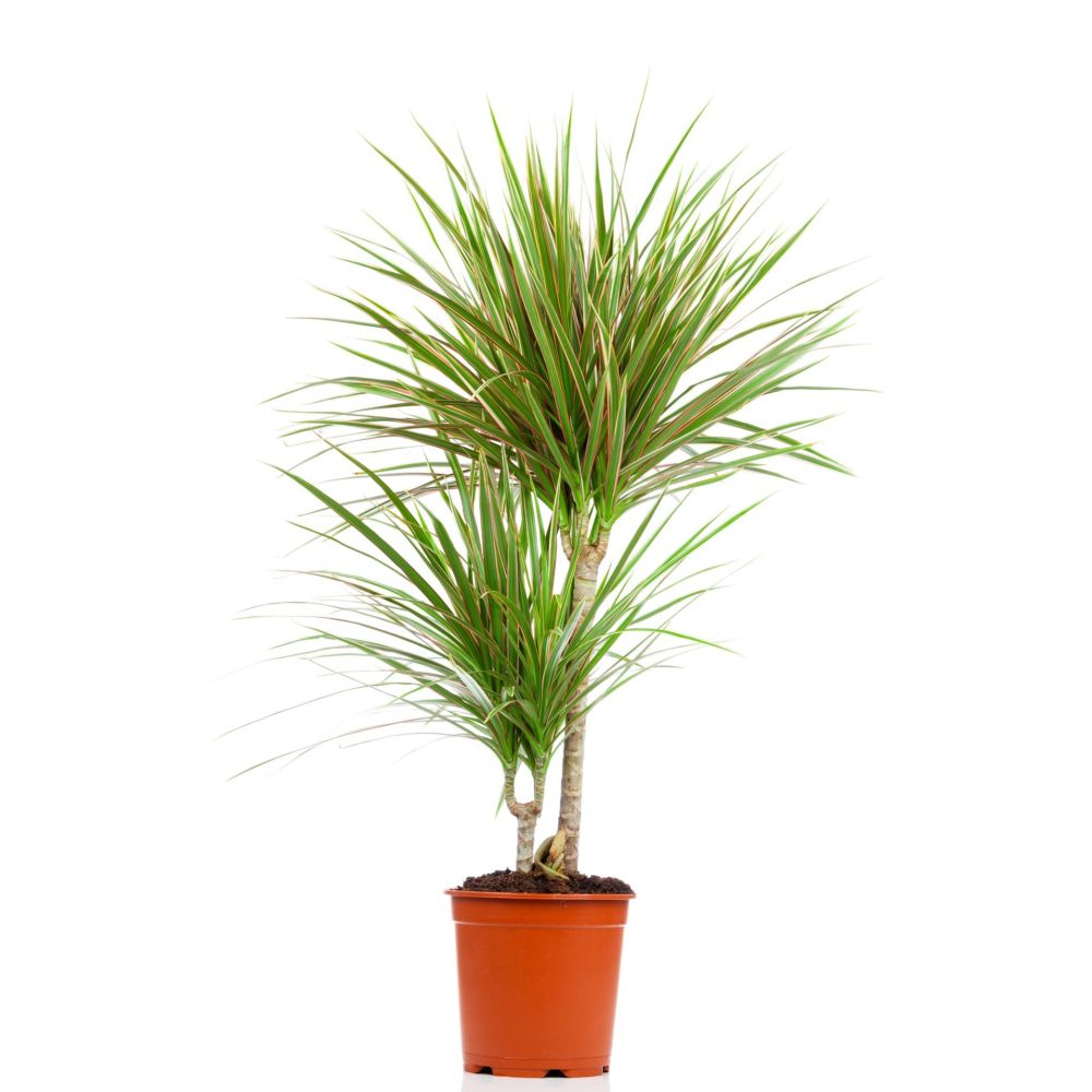 dracaena bicolor 2 cannes en pot de 17cm hauteur 75cm gamm vert. Black Bedroom Furniture Sets. Home Design Ideas