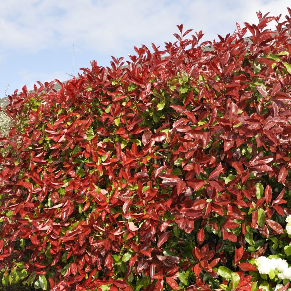 photinia 39 red robin 39 pot de 3 litres hauteur 30 40cm gamm vert. Black Bedroom Furniture Sets. Home Design Ideas