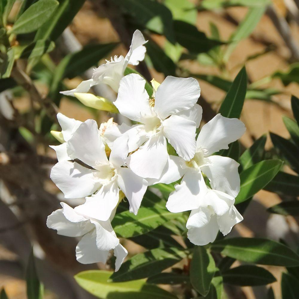 Laurier rose fleurs simples blanches pot de 5 litres hauteur 50 60cm gamm vert - Laurier fleur en pot ...