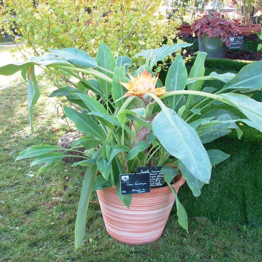 bananier lotus d'or - bananier nain pot de 3 litres - gamm vert