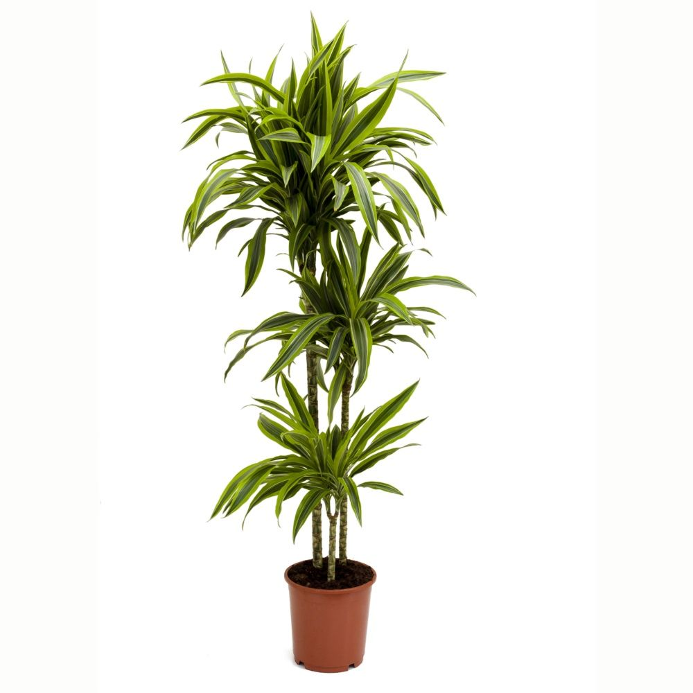 plante interieur dracaena