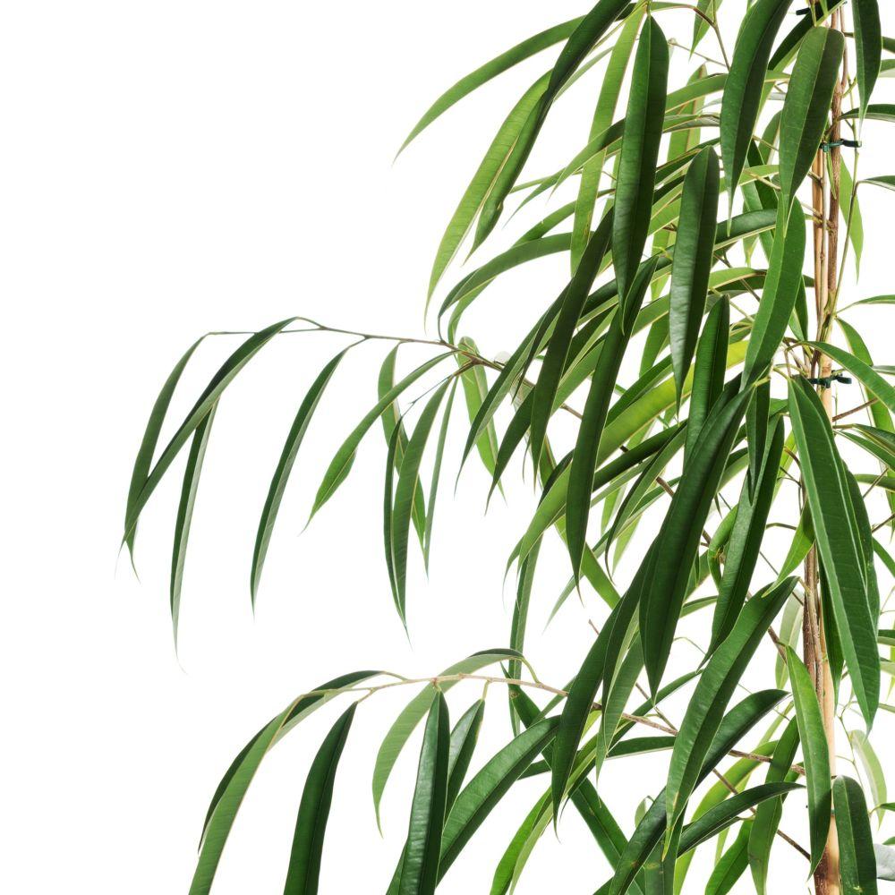 Ficus à longues feuilles alii