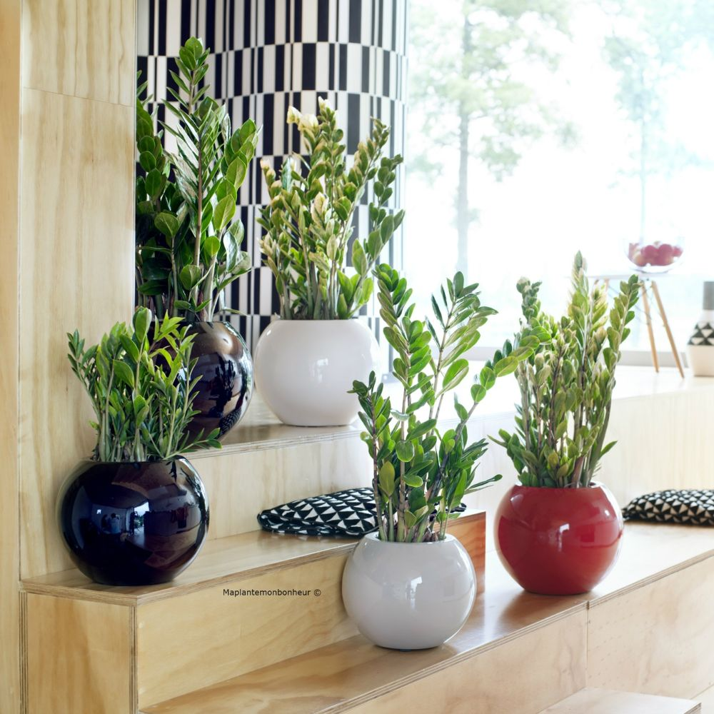 zamioculcas en pot de 21cm hauteur avec pot 90cm gamm vert. Black Bedroom Furniture Sets. Home Design Ideas
