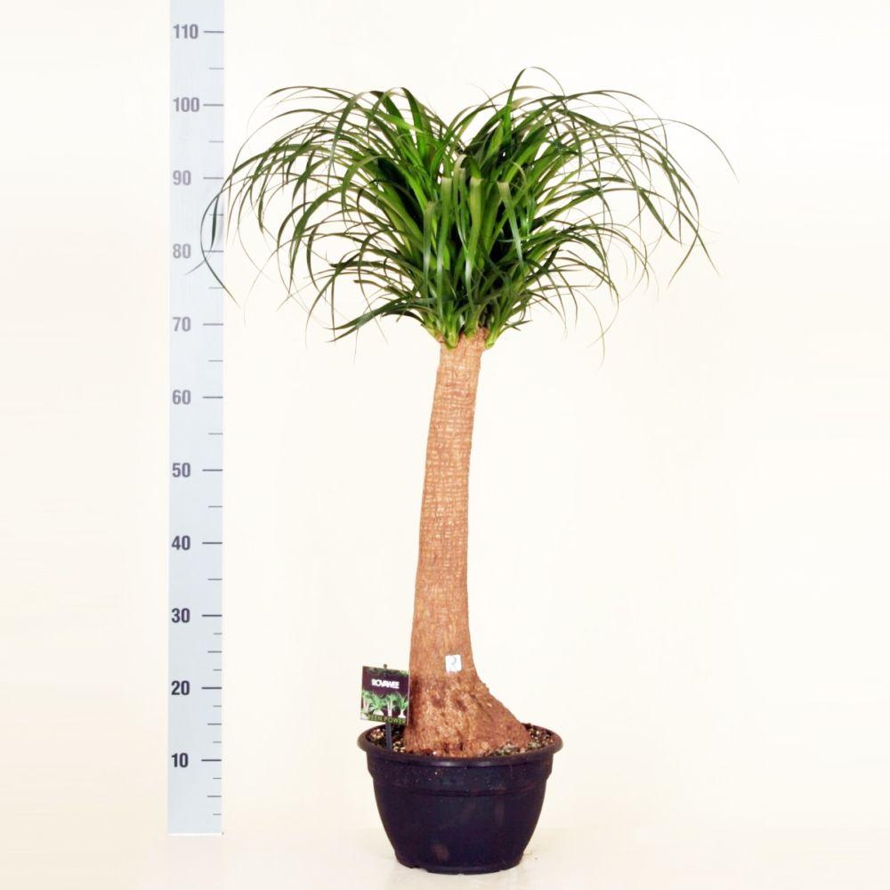 Pied d 39 l phant beaucarnea en pot de 24cm hauteur 90cm gamm vert - Plante verte appelee pied d elephant ...