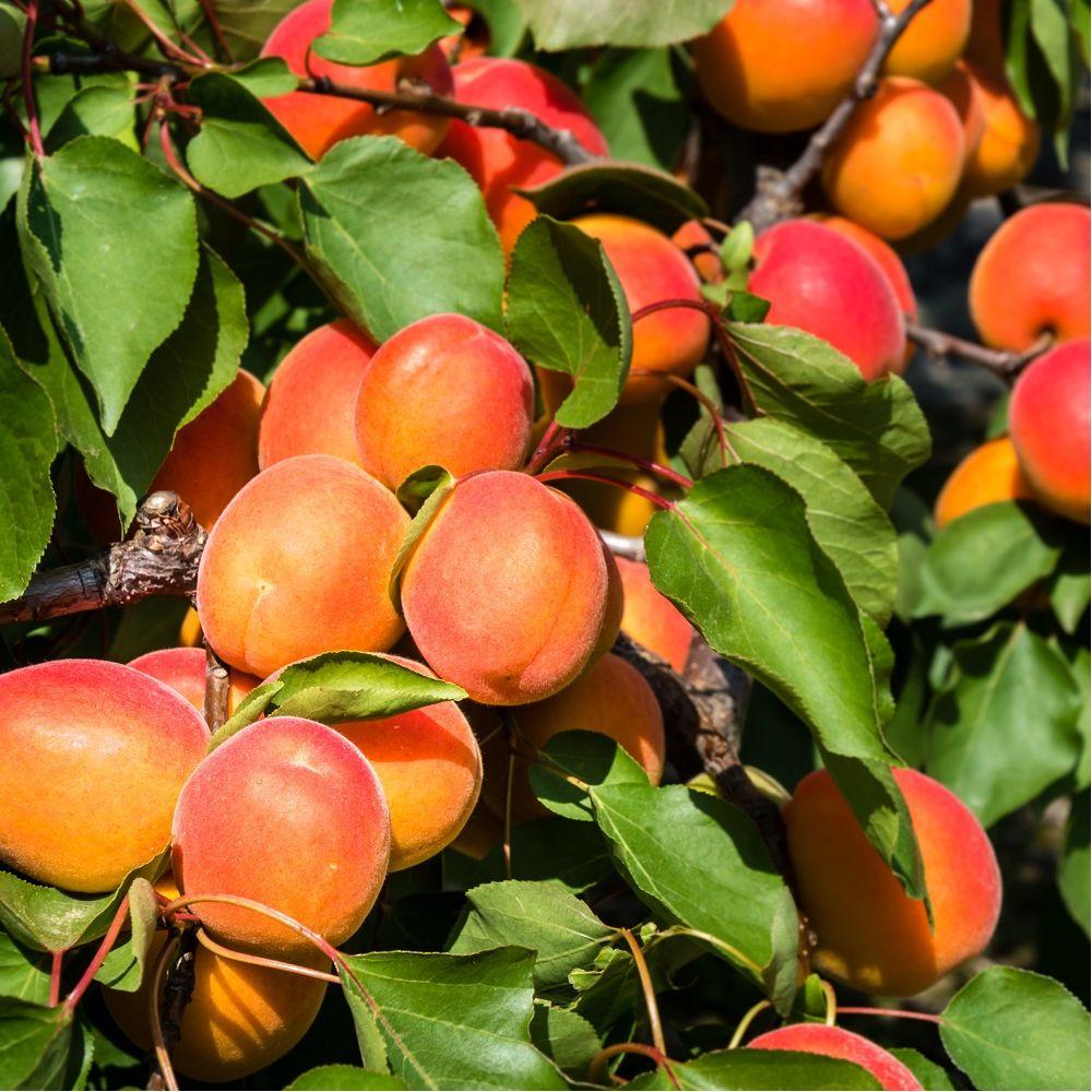 Abricotier 'Rouge du Roussillon' : taille en quenouille, pot de 10 L