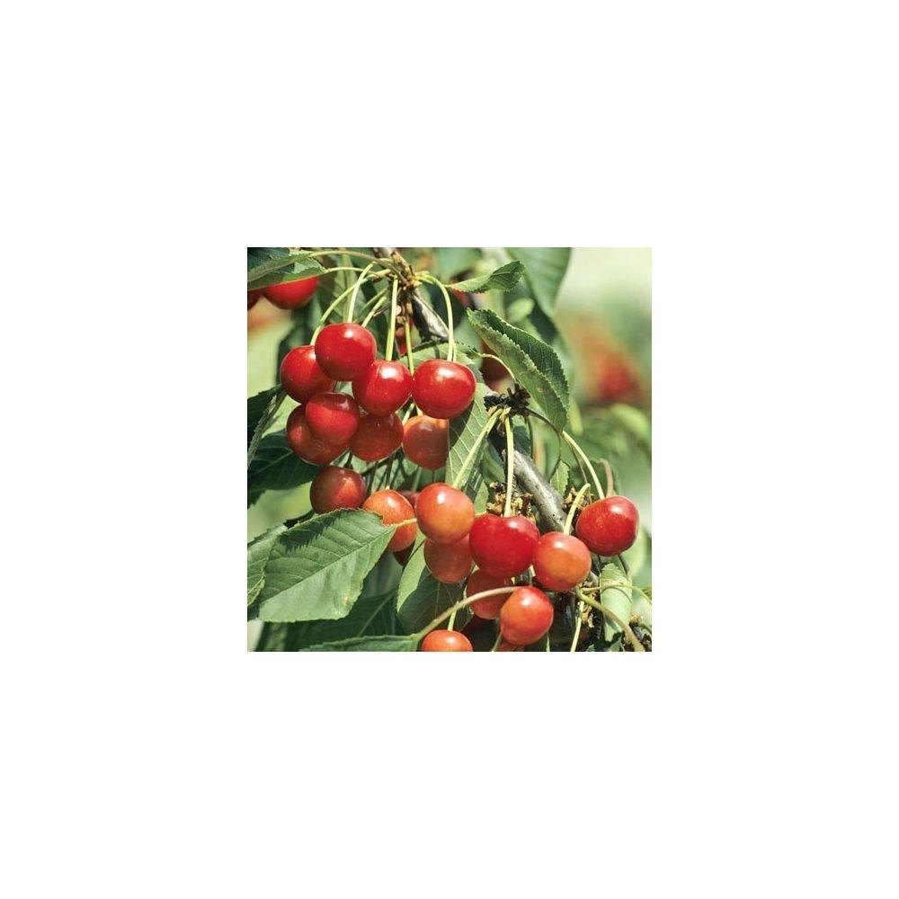 Cerisier 'Bigarreau Coeur de Pigeon' : taille en quenouille, pot de 10 L