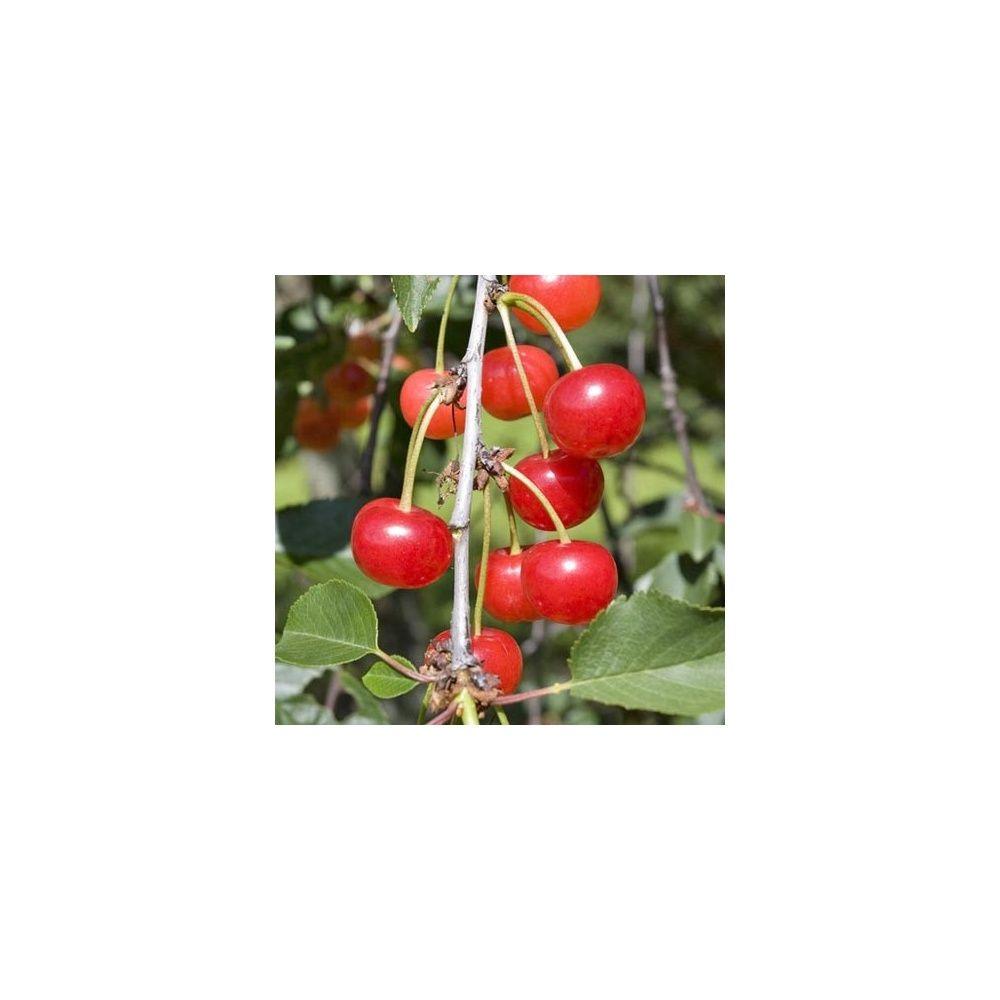 Cerisier autofertile griotte de 'Montmorency' : taille en quenouille, pot de 10 L