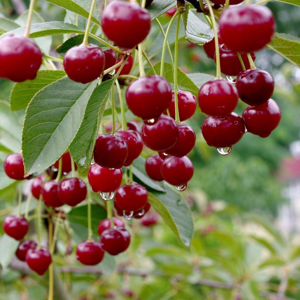 Cerisier Bigarreau 'Van' : taille quenouille, pot de 10 L