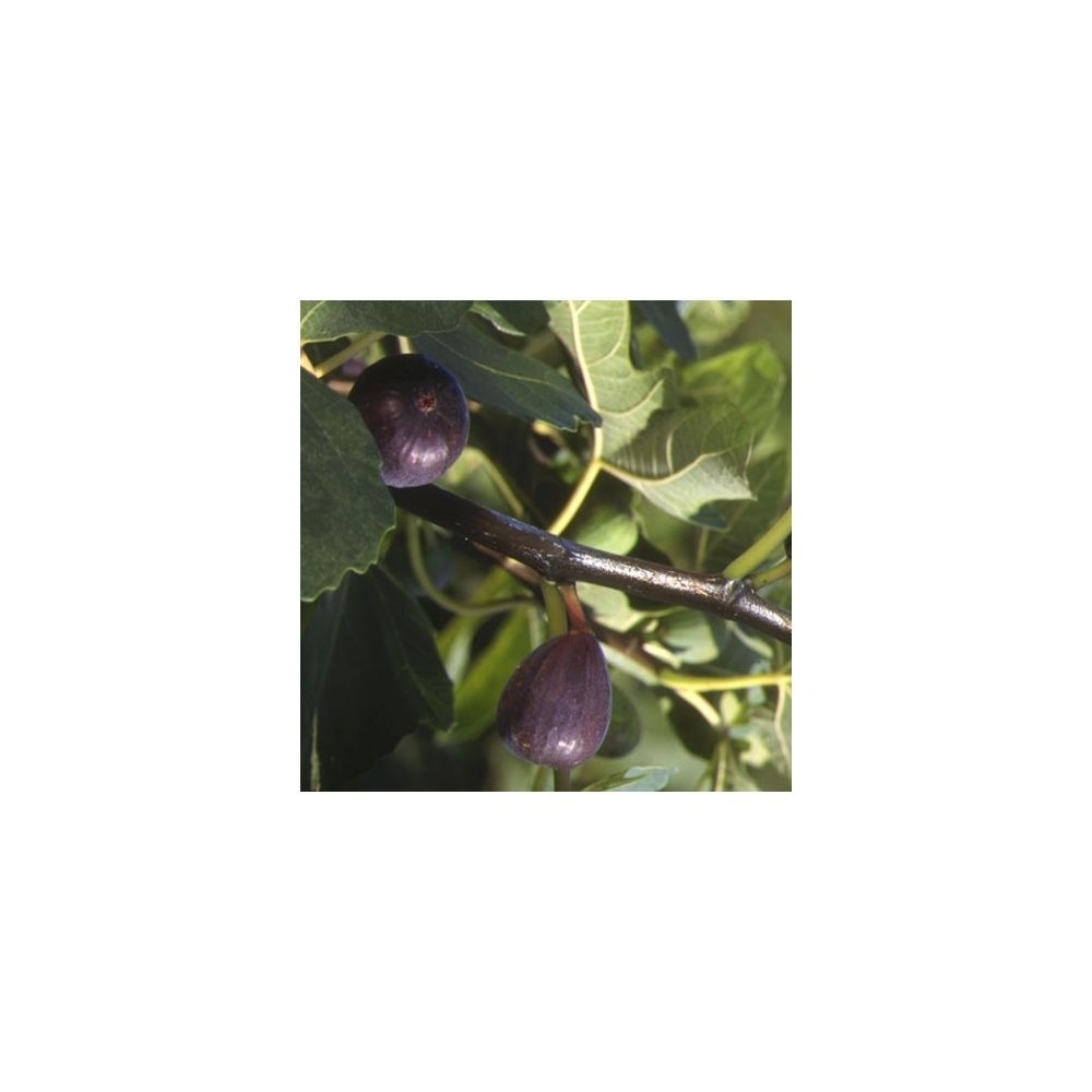 figuier 'noire de caromb' : taille en gobelet, en pot 12 l pot de 12