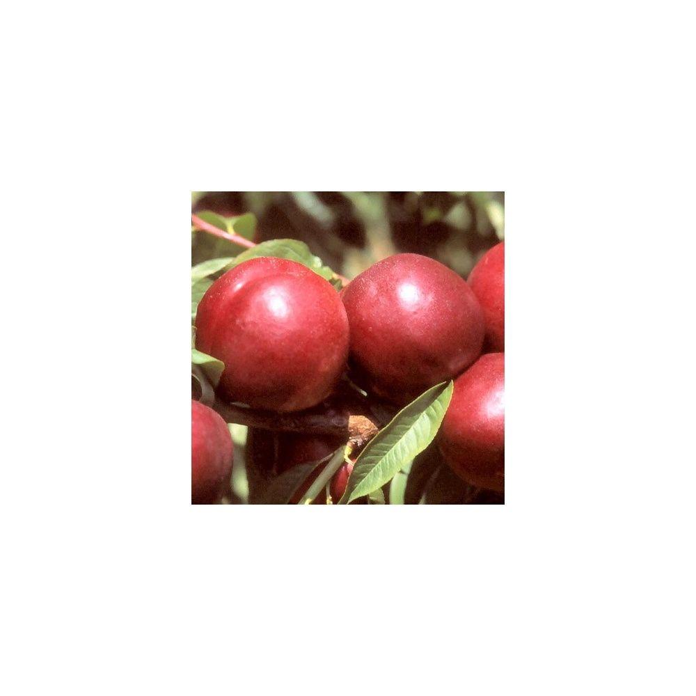 Nectarinier autofertile 'Morton' : taille demi-tige, en pot 12 L