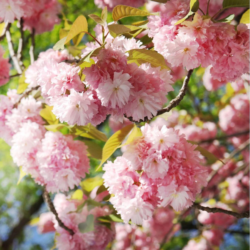 713a5dbbde5c Cerisier du japon  Kanzan  Pot de 4 litres, hauteur 60 90cm - Gamm Vert