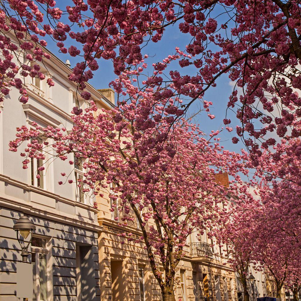 cerisier du japon 39 kanzan 39 pot de 4 litres hauteur 60. Black Bedroom Furniture Sets. Home Design Ideas