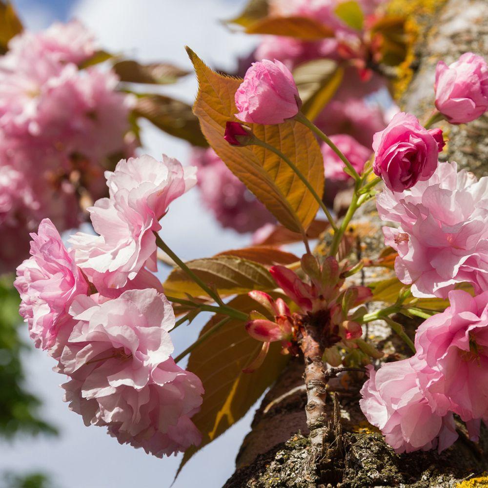 cerisier fleurs du japon 39 kanzan 39 pot de 20 litres demi tige 8 10 cm de circonf rence gamm vert. Black Bedroom Furniture Sets. Home Design Ideas