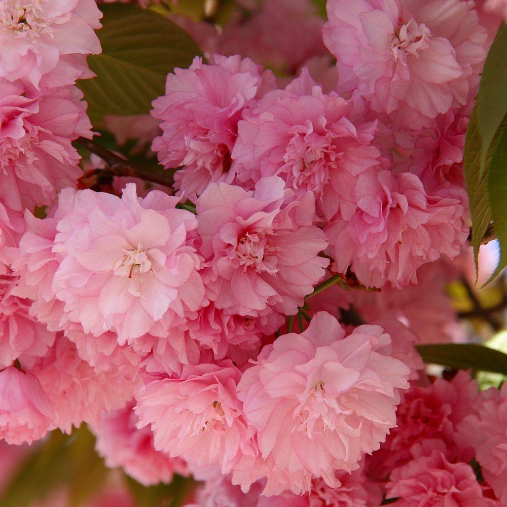 Cerisier fleurs kanzan pot de 20 litres demi tige 810 cm de cerisier fleurs kanzan altavistaventures Choice Image