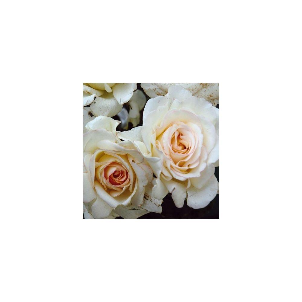 Rosier 'Marie-Christine Barrault ®' – Rosier Guillot