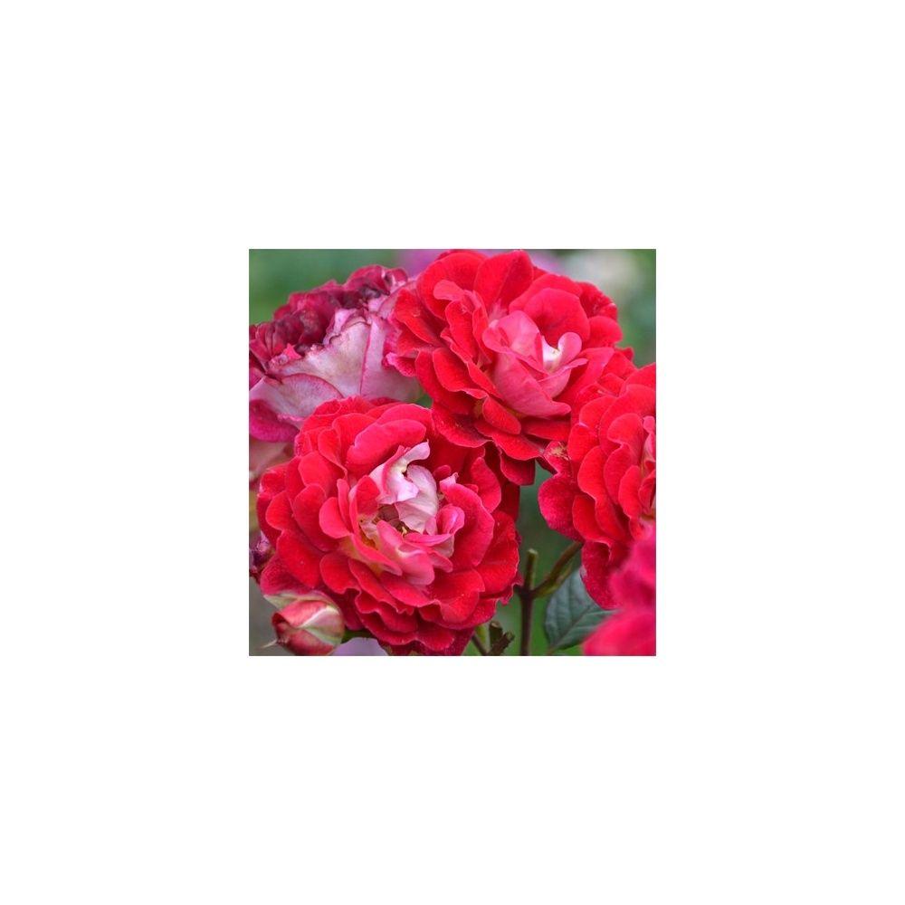 Rosier Generosa ® 'Monplaisir -Guy Darmet ®' – Rosier Guillot