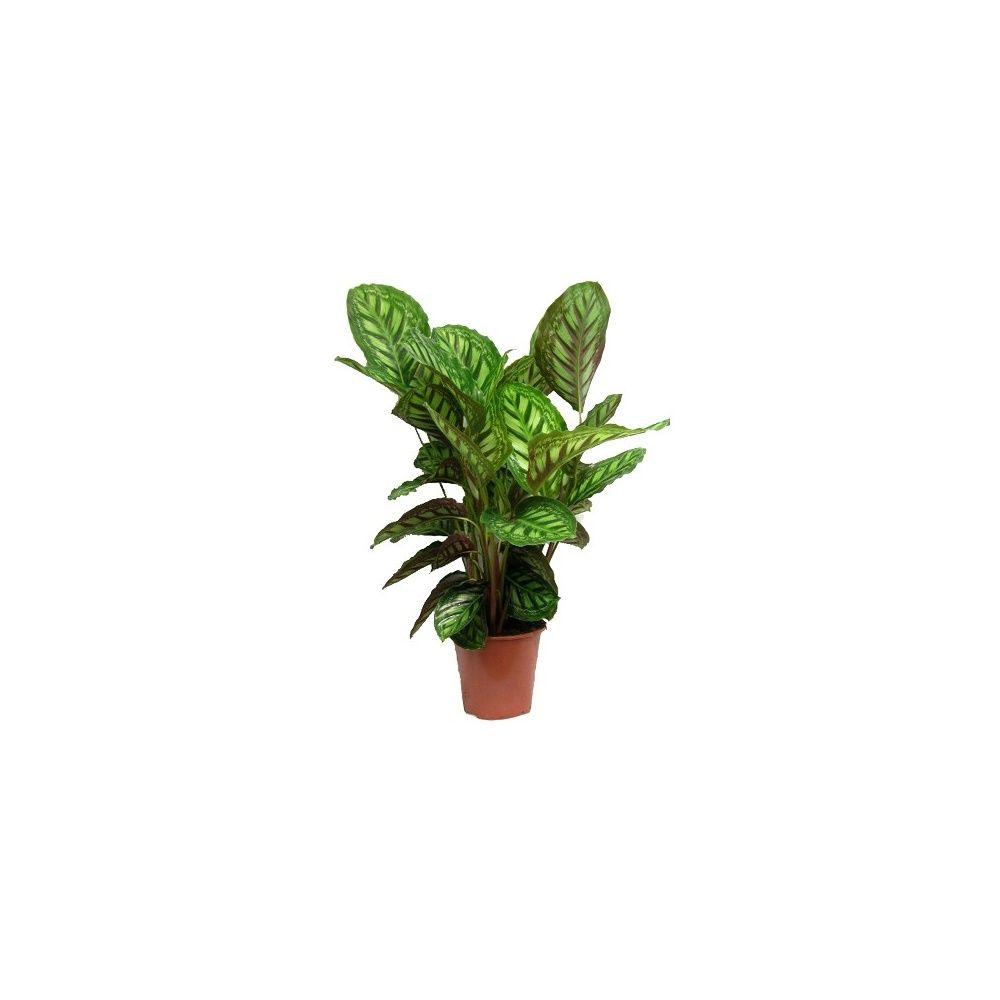 calathea 39 flame star 39 70 75 cm hauteur 70 75 cm pot diam tre 19 cm gamm vert. Black Bedroom Furniture Sets. Home Design Ideas