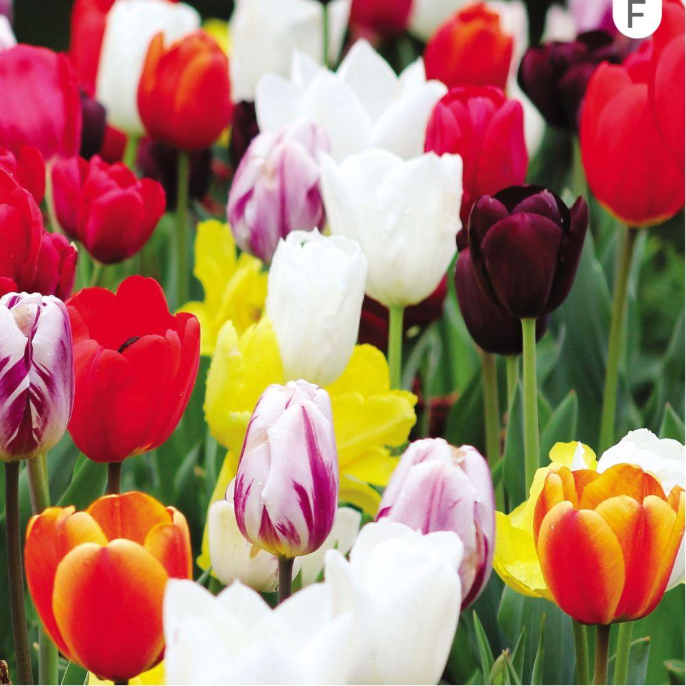 Tulipe triomphes variées (lot de 25)
