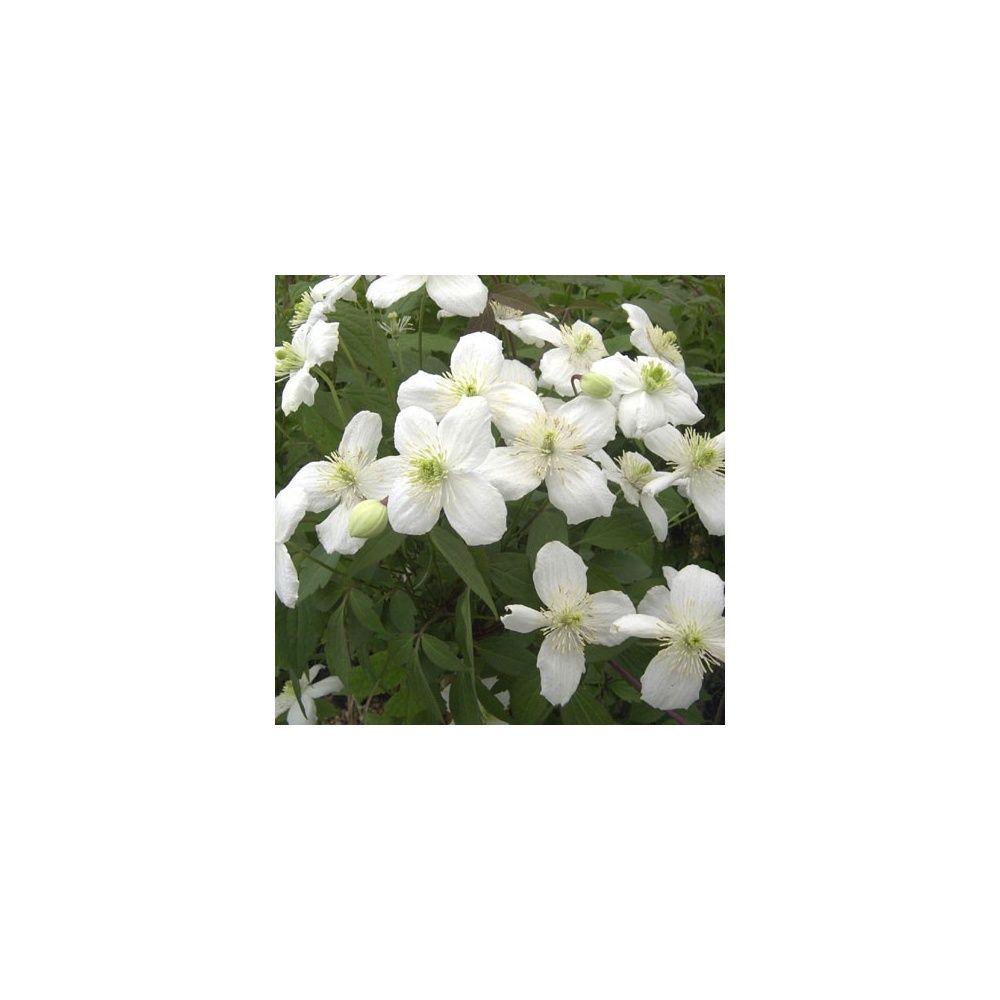Clématite montana 'Grandiflora'