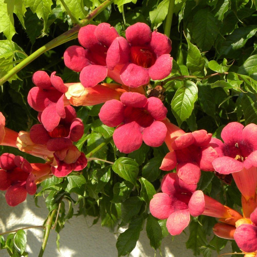 bignone radicans 'atropurpurea' pot de 3 litres (18 à 24 mois de