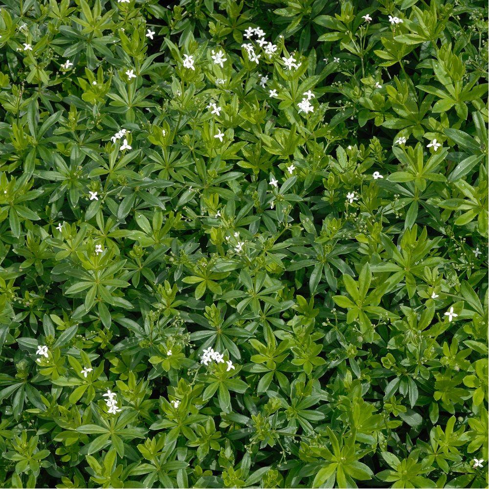 Gaillet odorant ou Aspérule – Asperula odorata