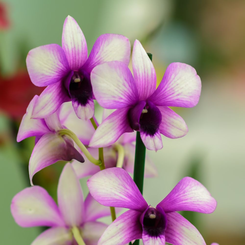 orchid e dendrobium polar fire 2 tiges en pot de 11cm hauteur 45cm gamm vert. Black Bedroom Furniture Sets. Home Design Ideas
