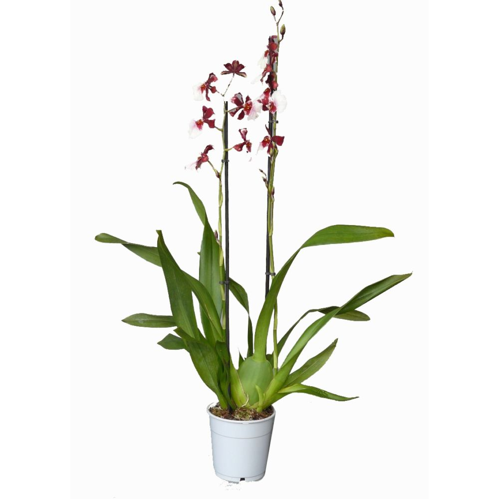 orchidee cambria