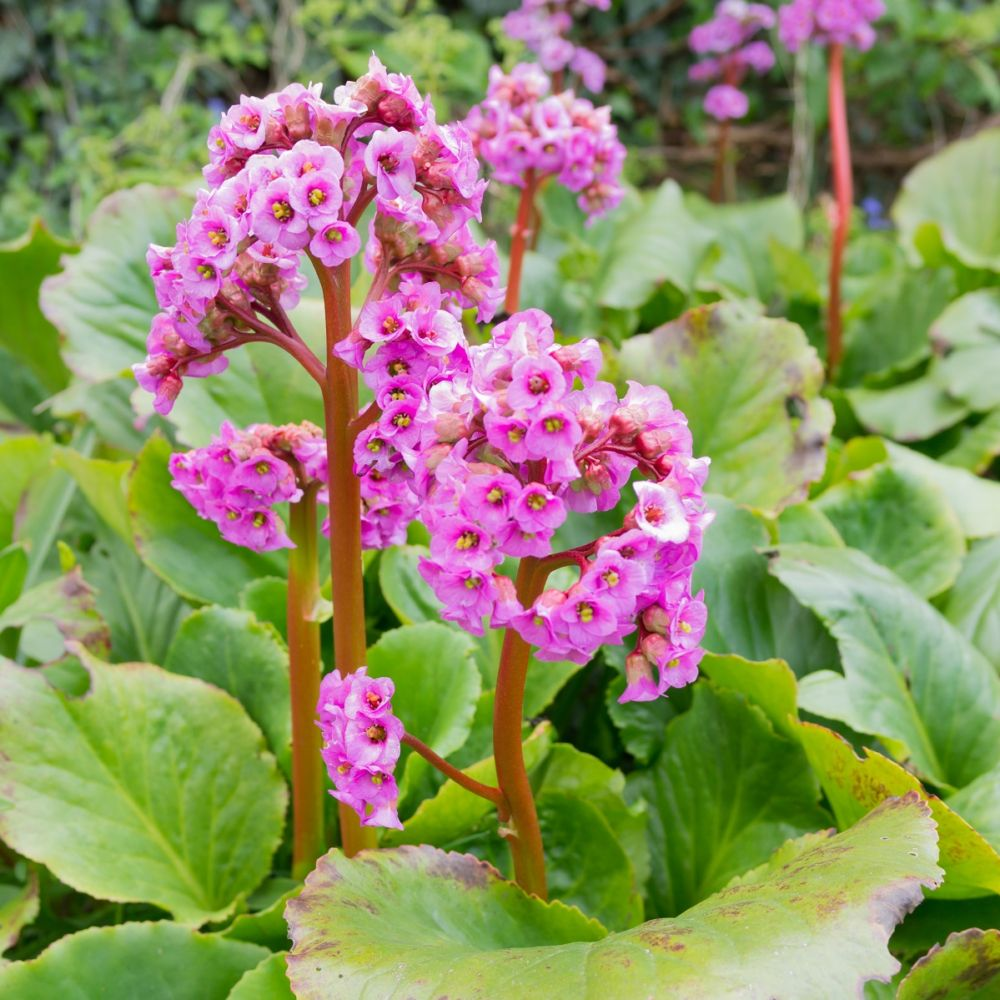 bergenia cordifolia rosea lot de 3 godets de 7 cm gamm vert. Black Bedroom Furniture Sets. Home Design Ideas