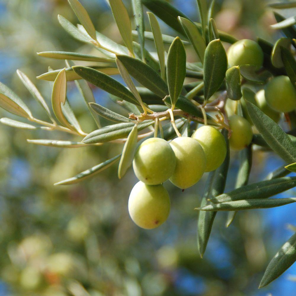 plantation olivier en pot