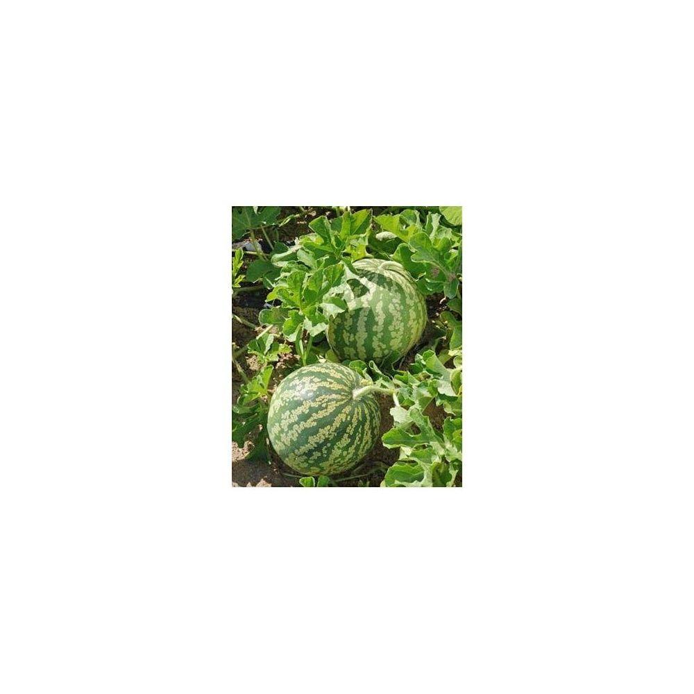 pastèque à graine rouge à confire à chair verte sachet de 3 grammes