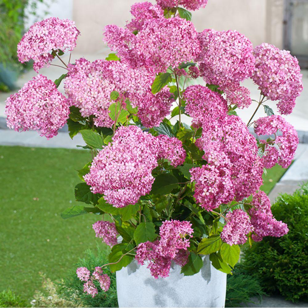 Hortensia arborescens Invincibelle ®