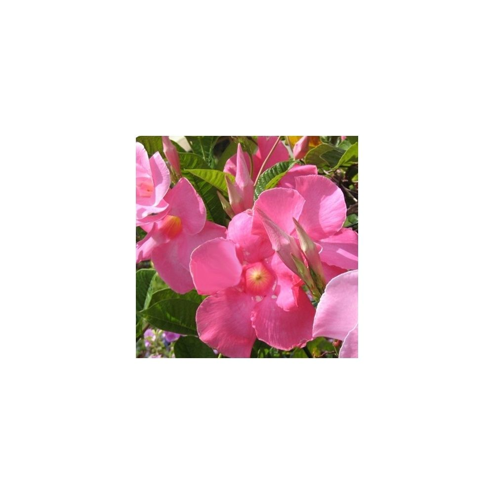 Dipladenia Sundaville Rose Pot Diametre 17 Cm Sur Tipi Gamm Vert