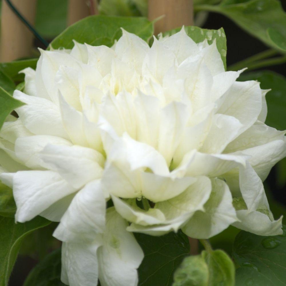 Clématite 'Duchess of Edinburgh'
