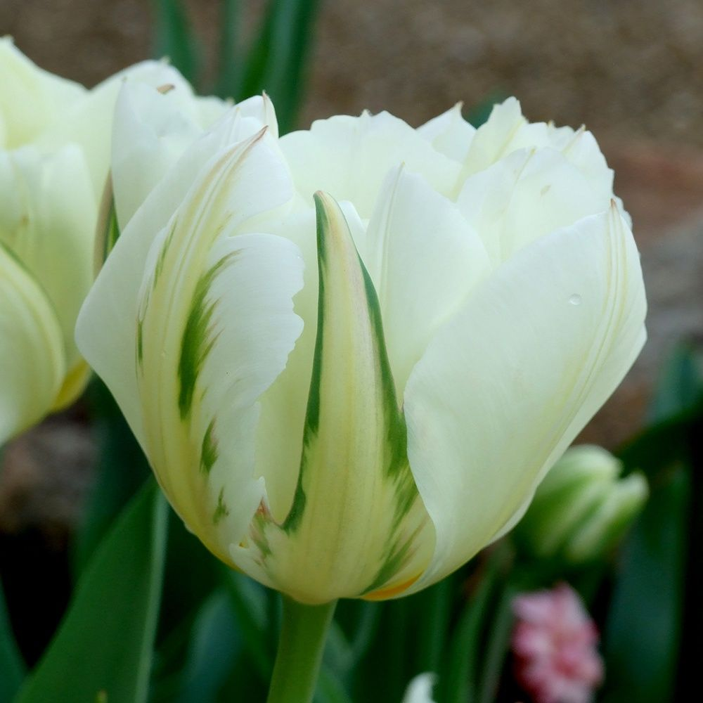 bulbe de tulipe 6 lettres