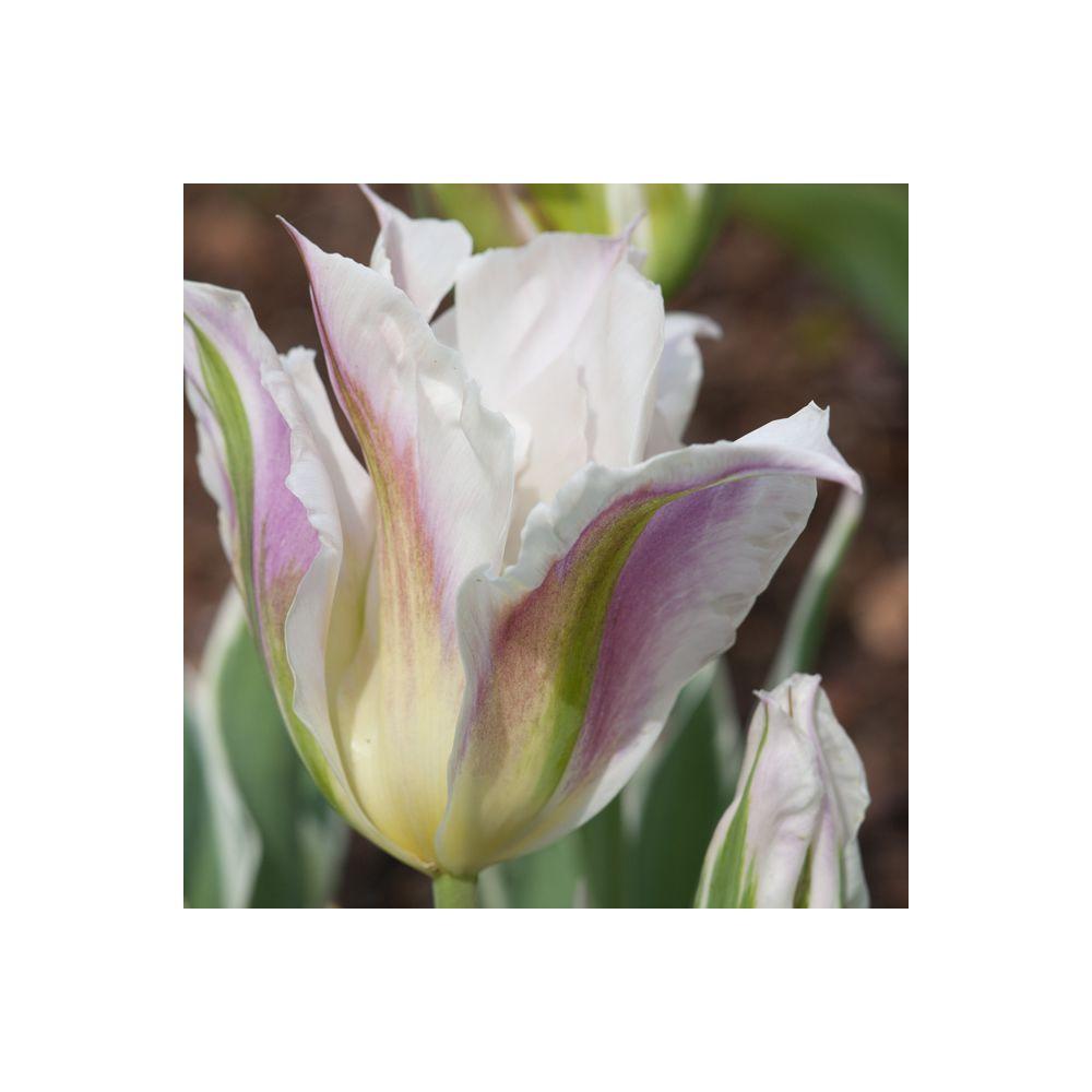 Tulipe 'China Town' (lot de 9)