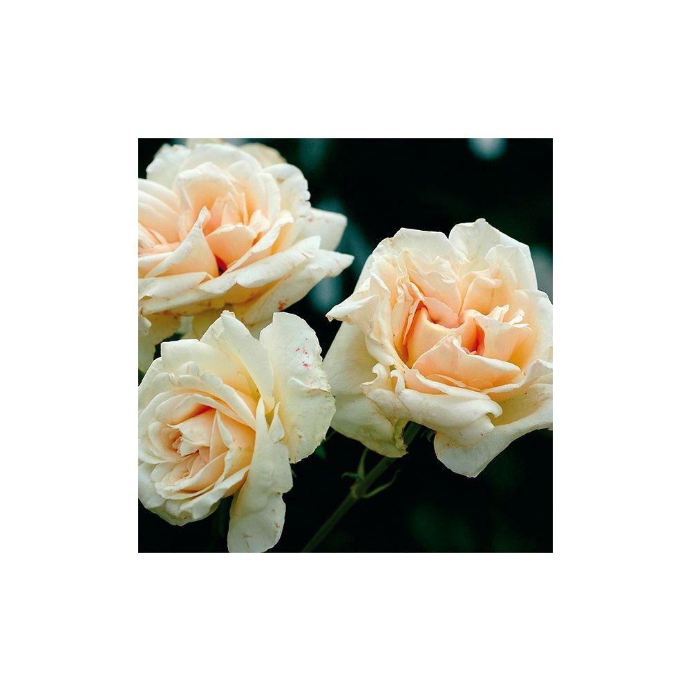 rosier ancien grimpant 39 bouquet d 39 or 39 rosier guillot racines nues 3 branches et gamm vert. Black Bedroom Furniture Sets. Home Design Ideas