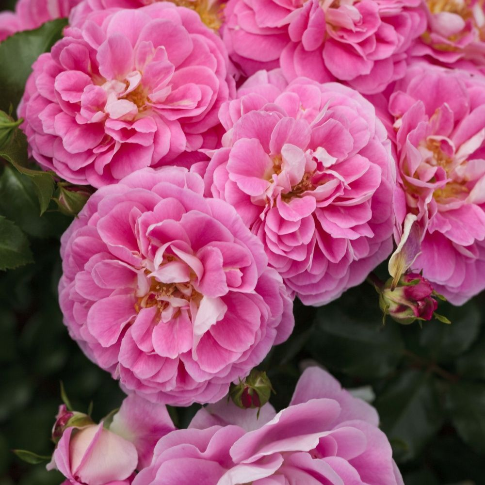 Rosier 'Lovely Pink ®'  – Rosier Meilland