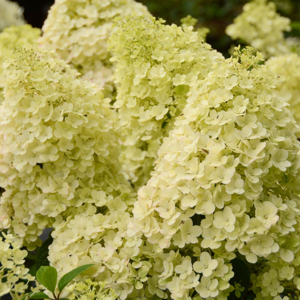 Hortensia paniculata 'Bobo' ®