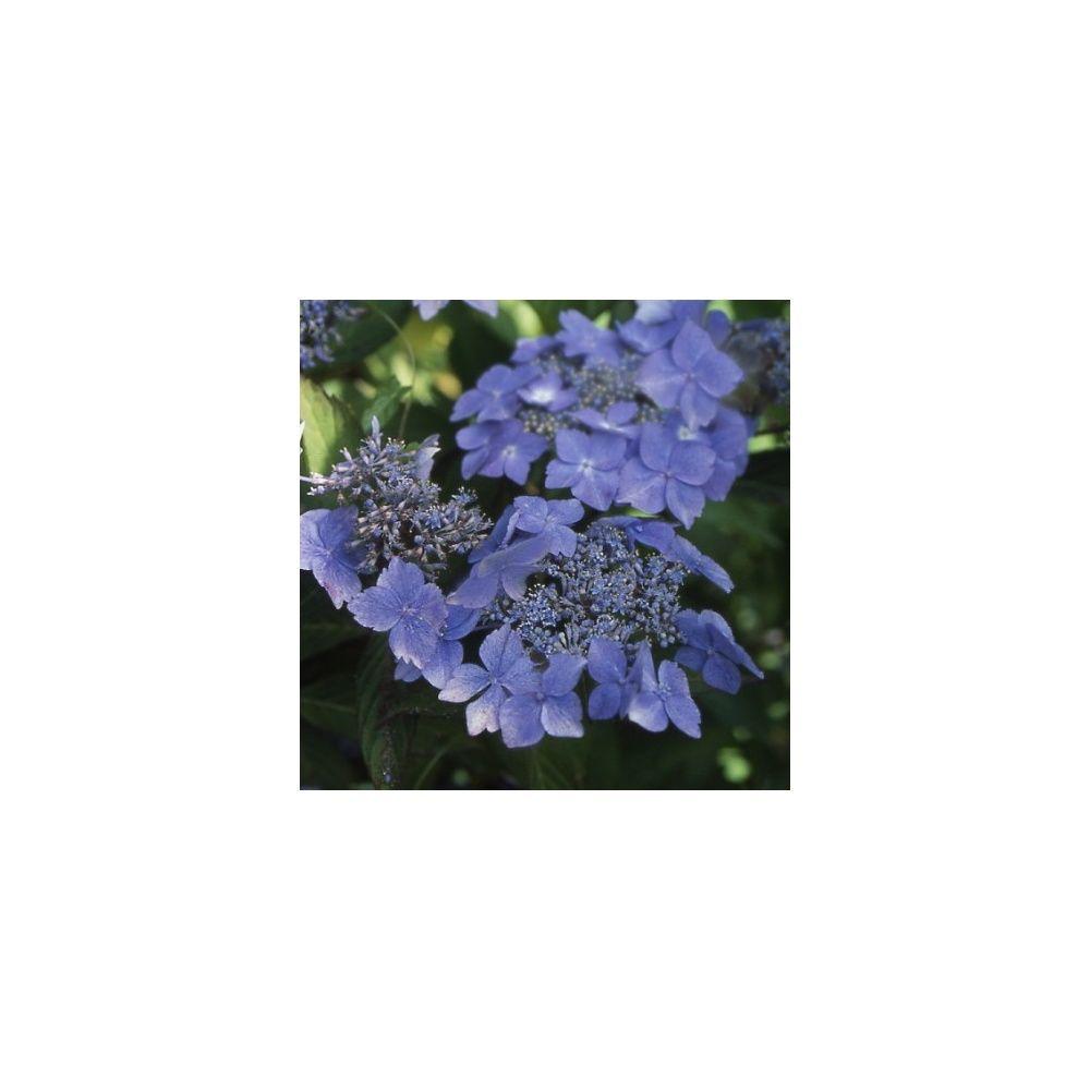 Hortensia 'Bleuet'