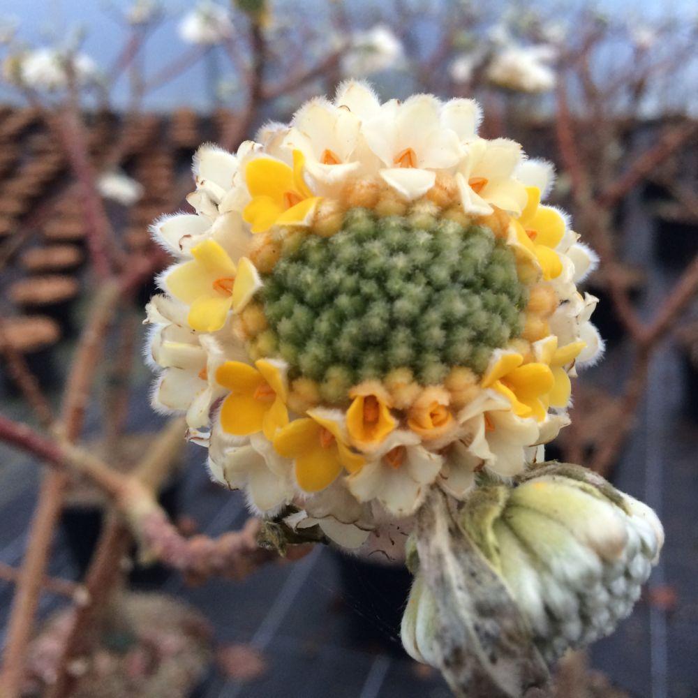 Edgeworthia 'Grandiflora'