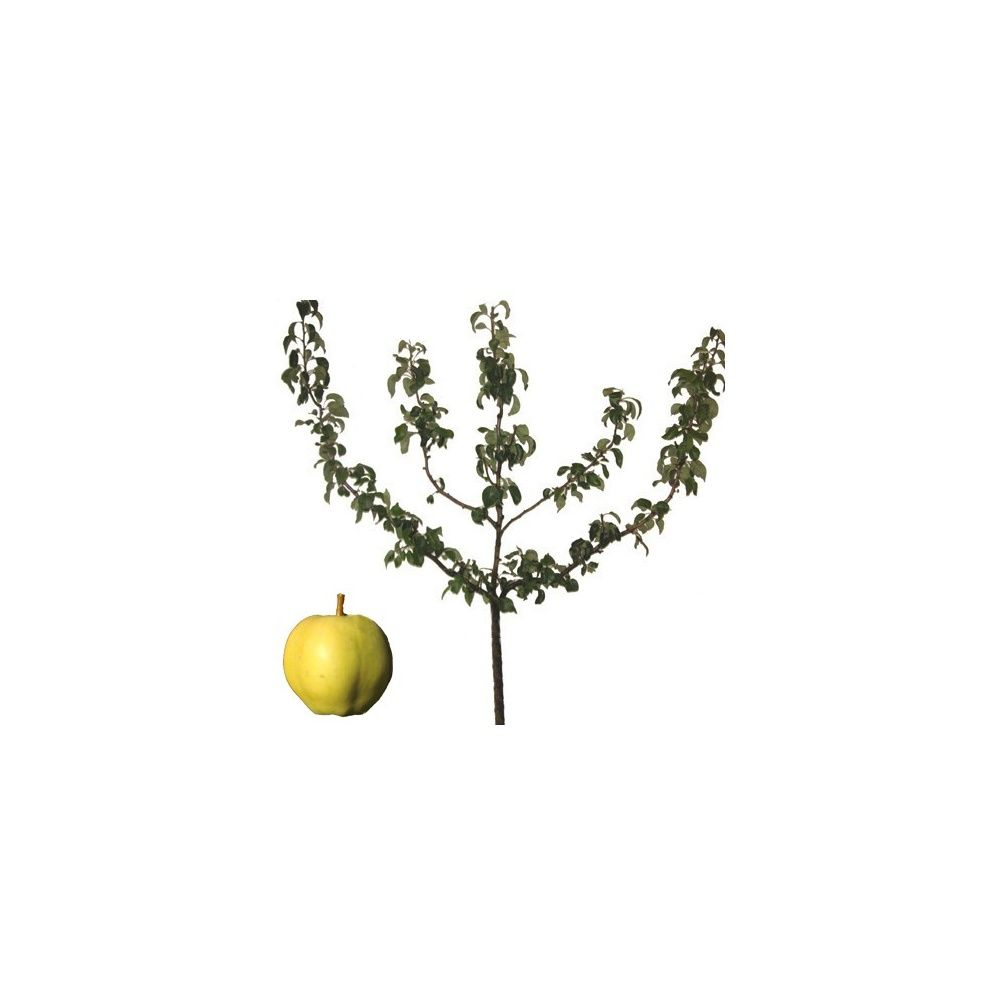 Pommier 'Belle fleur jaune' : taille en palmette oblique