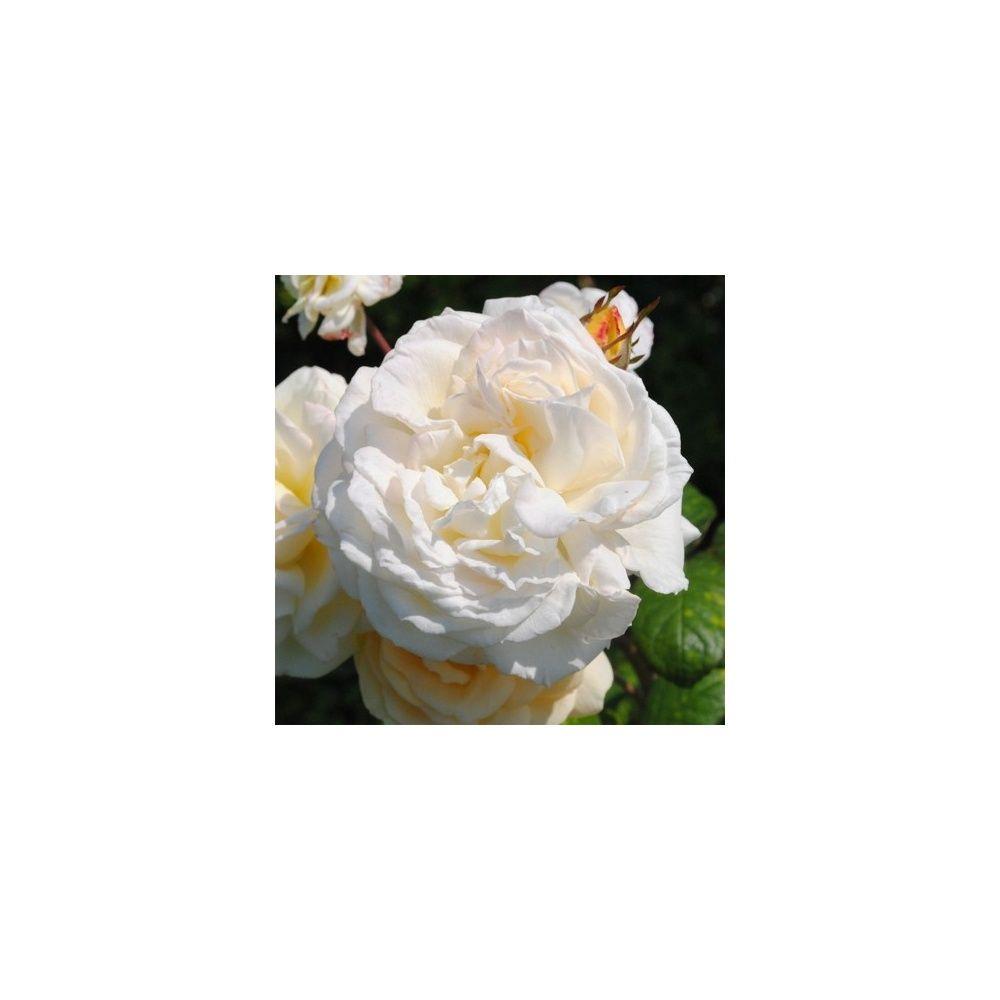 Rosier Generosa ® 'Manuel Canovas ®' – Rosier Guillot